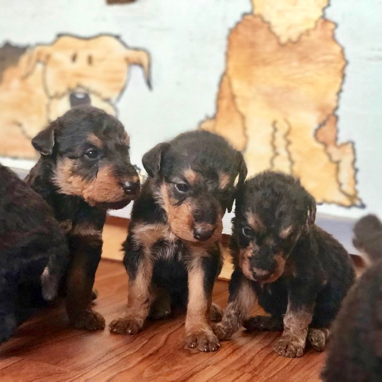DOGWOODDALES AIREDALE TERRIER PUPPIES