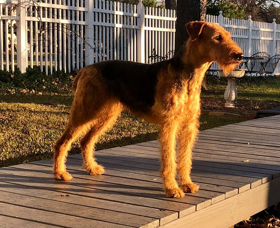 Airedale Terrier Puppies in Dallas, TX — DogwoodDales