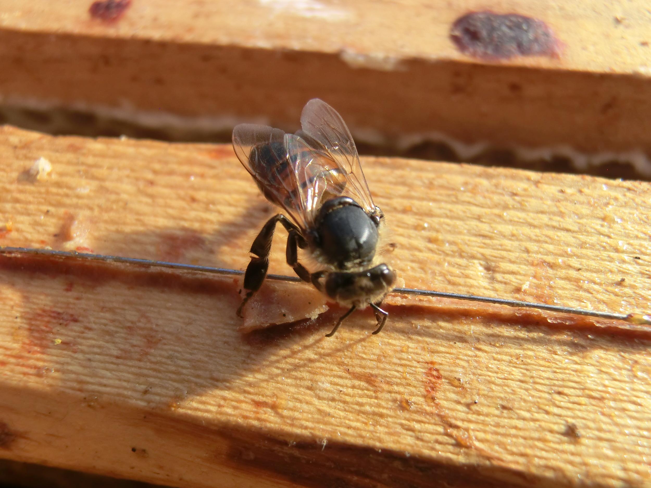 Bienensauna - fressende Biene