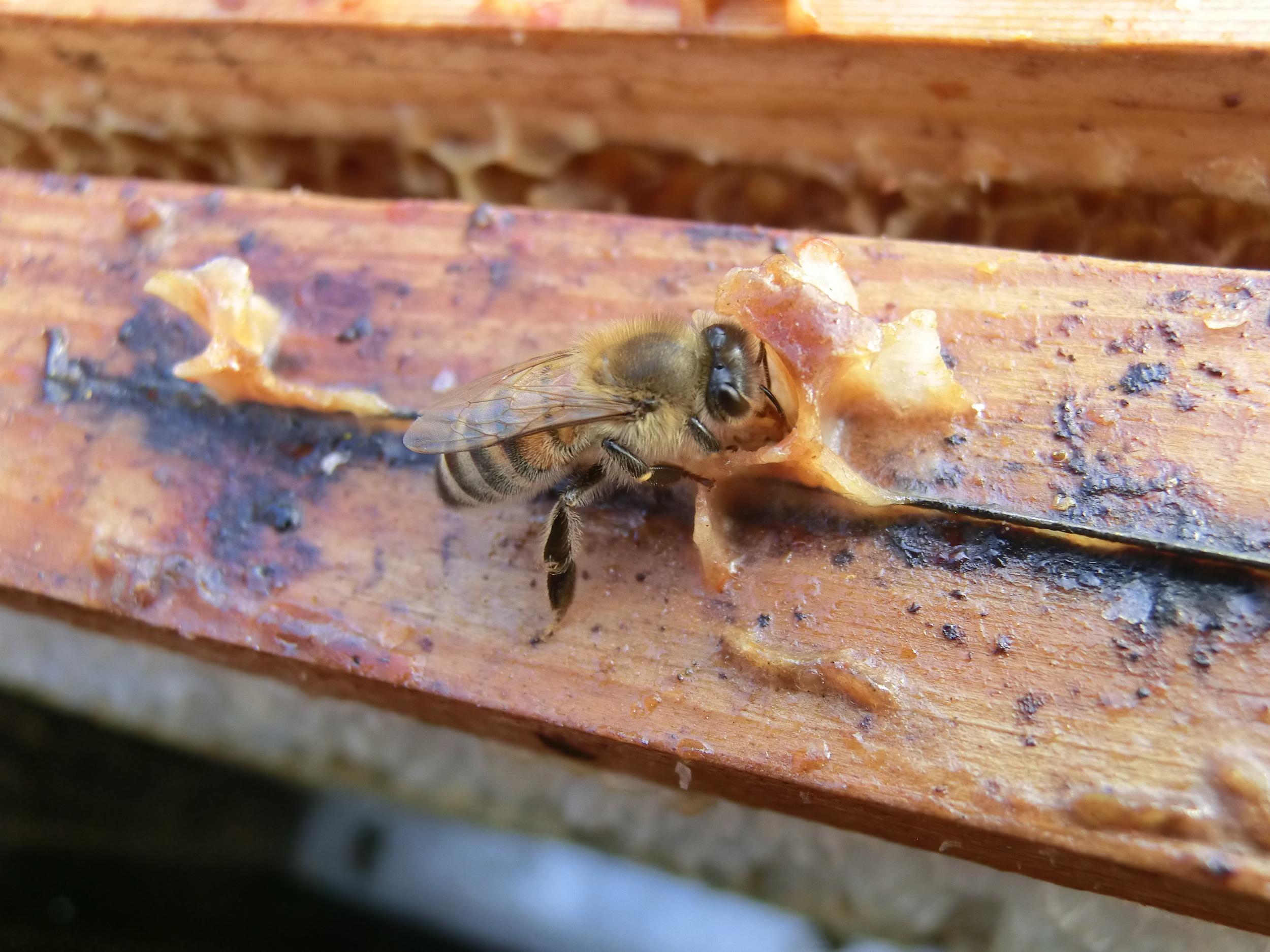 Bienensauna - fressende Biene II