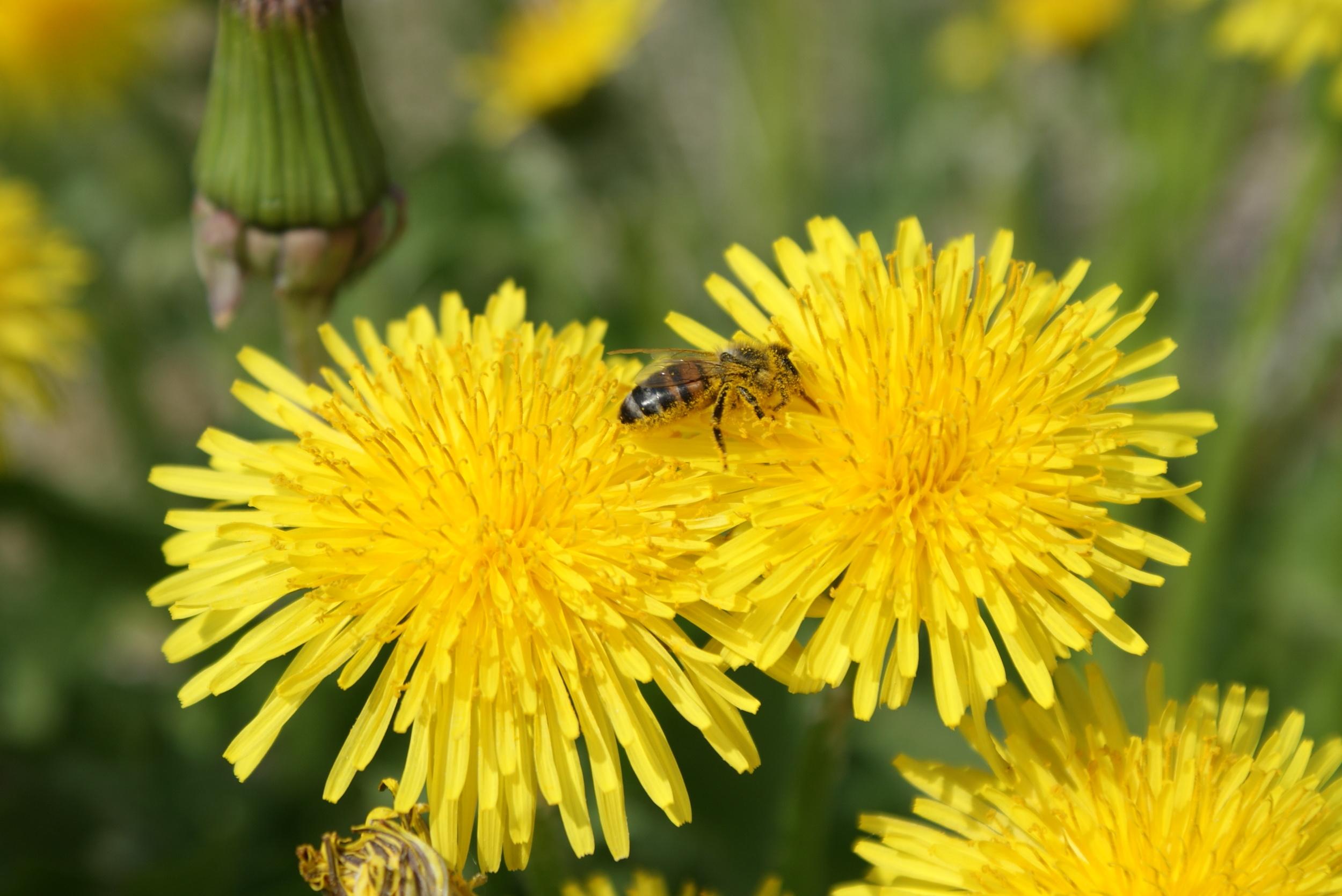 Bienensauna - Biene im Löwenzahn