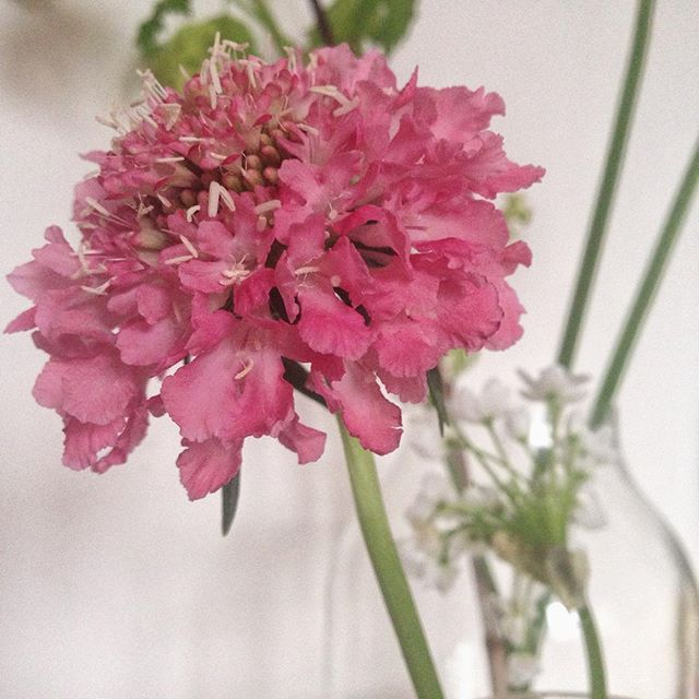 Another lovely pink #scabiosa 🌿🌺