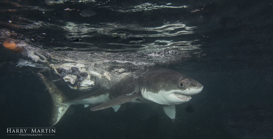 Great White Shark near Cape Town, South Africa