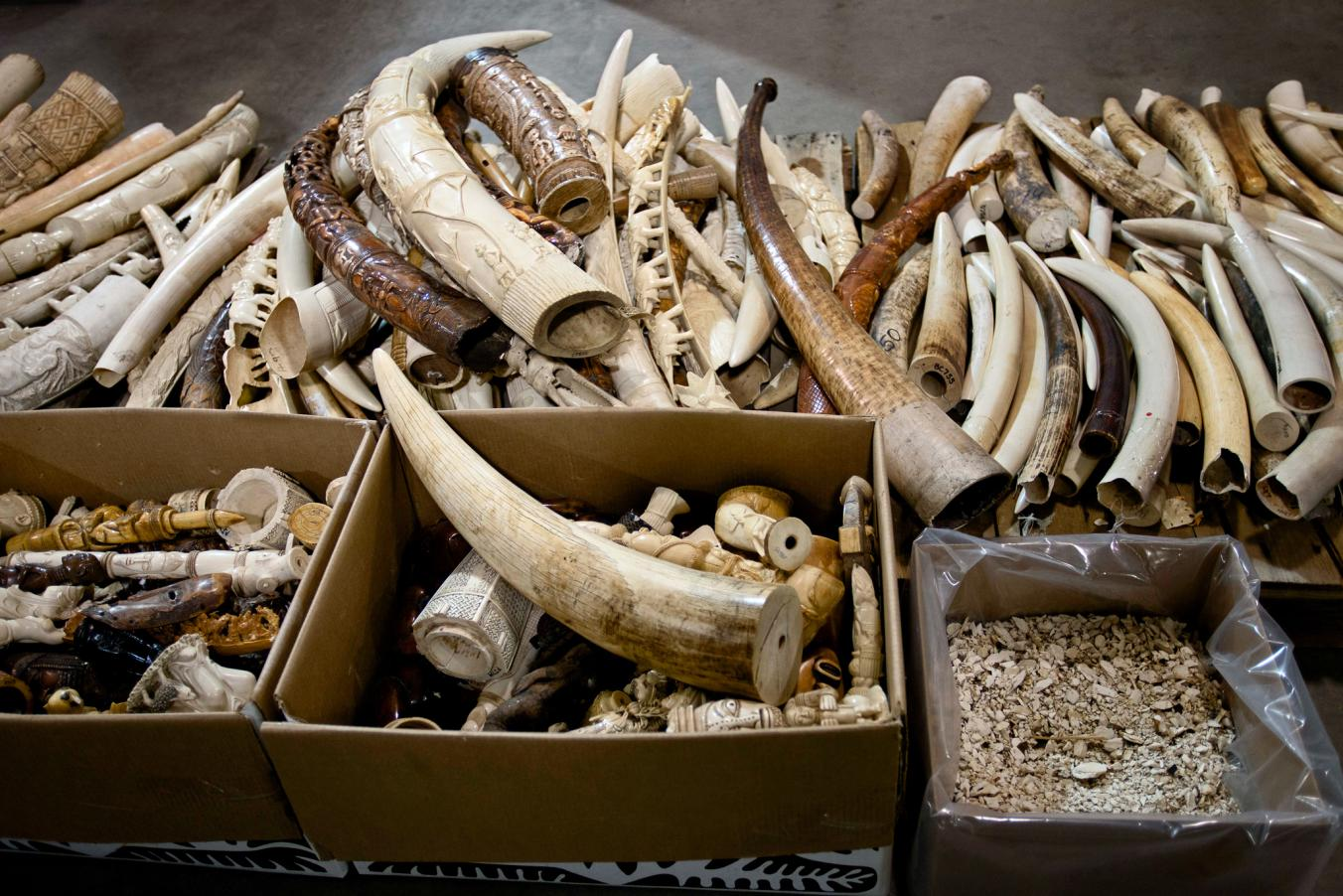 Confiscated elephant tusks and boxes of figurines carved from ivory sit in the main hall of the National Wildlife Property Repository, in Colorado.  PHOTOGRAPH BY KATE BROOKS, REDUX