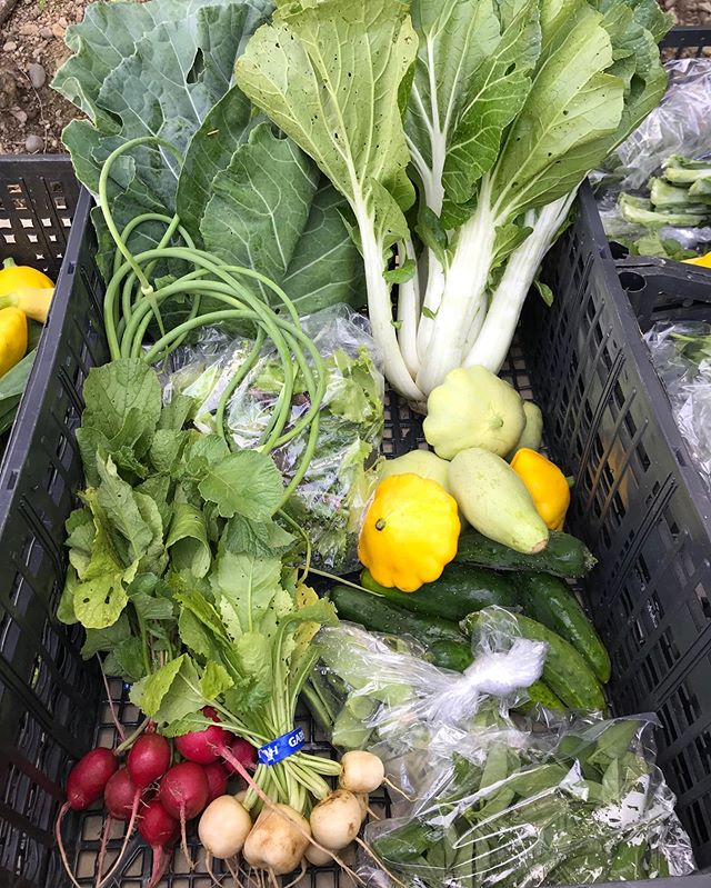 This week's share for the Bay Ridge Biweekly members: Bok Choi, Garlic Scapes, Radishes, Hakurei Turnips, Collard Greens, Mesclun Mix, Snow Peas, Cucumbers, Summer Squash and Basil