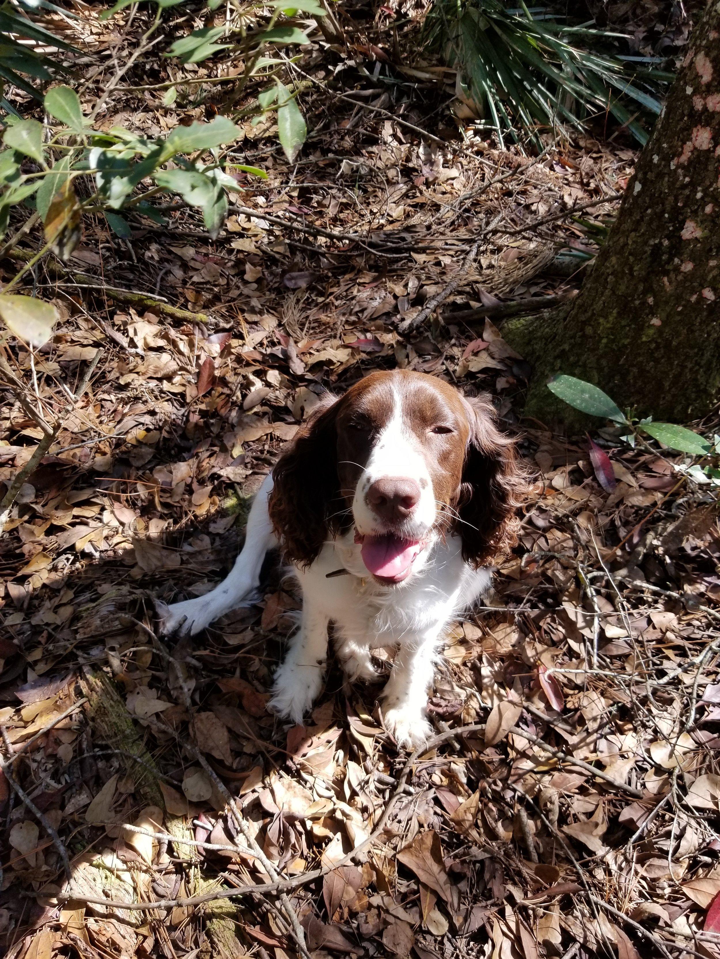 Intrepid Spaniel, Georgia, On Site, FL