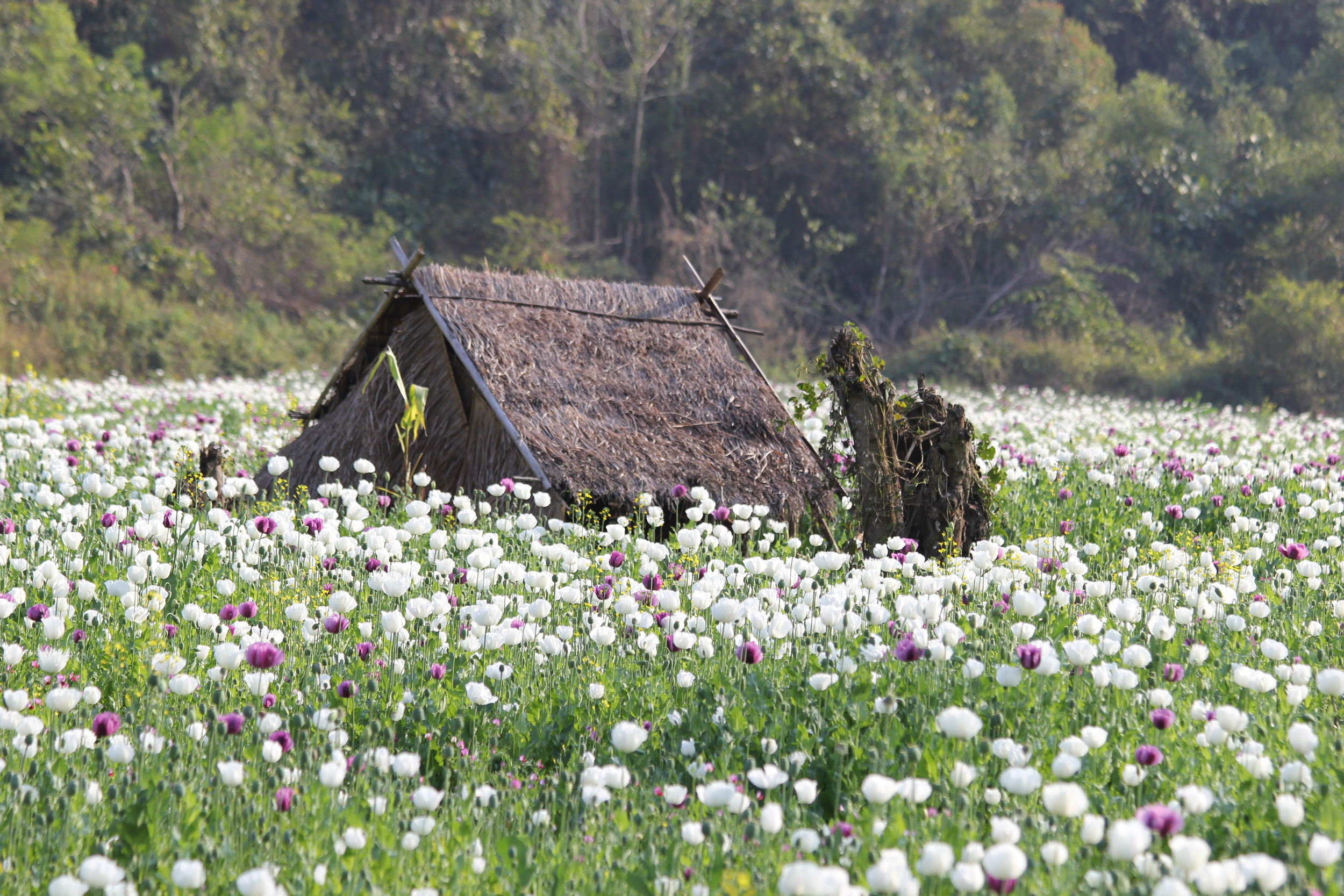 An opium field in Phongsaly Provicne, Laos. Farmers build small camps adjacent to the opium fields, in which they stay throughout the opium growing season. Opium is mostly grown in very remote parts of Laos. Photo: Oudone Sisongkham (2015)