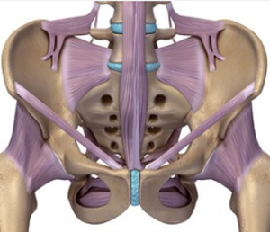the (purple) deep stabilising muscles required for control of the pelvis
