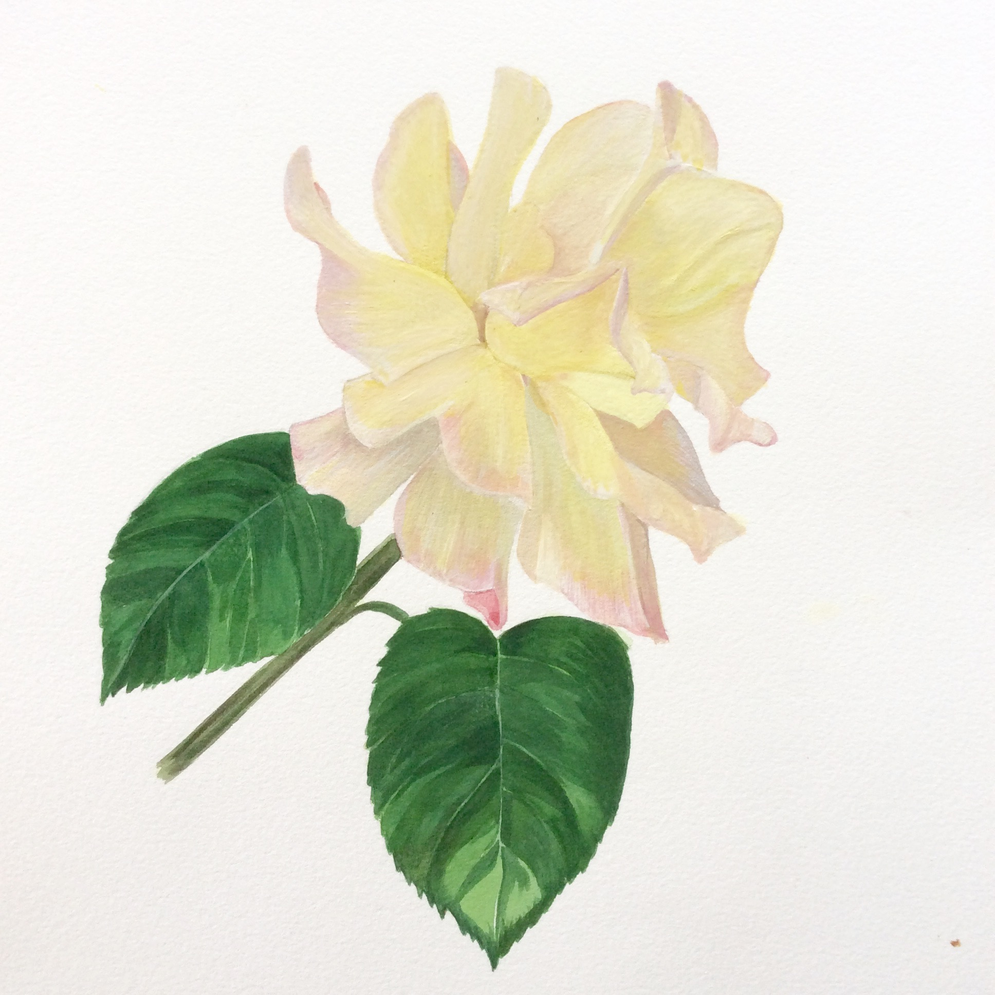 rose -  watercolor and gouace    2017