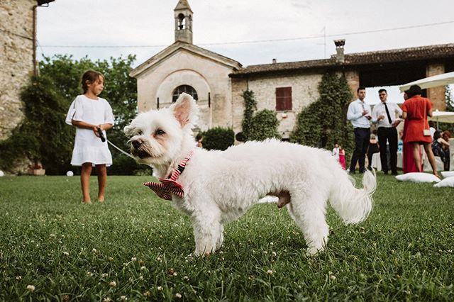 Beware of gigantic dogs at weddings. 🤣 . . . . . . . . . . #documentaryweddingphotographer #bridetobe2020#streetphotography #darkandmoody#castellodicorticelli #cascinalasecca#weddingplanning#destinationweddingphotographer#photobugcommunity#marriedatfirstsight #weddingdogs #malteselovers #letselope#nontraditionalwedding#weddingcelebrant #housetargaryen#antibridetribe#piacenzaweddingphotographer#castelloditassara #weddinginspo#forthewildlyinlove #momentslikethese#wildheartswander #realconnections