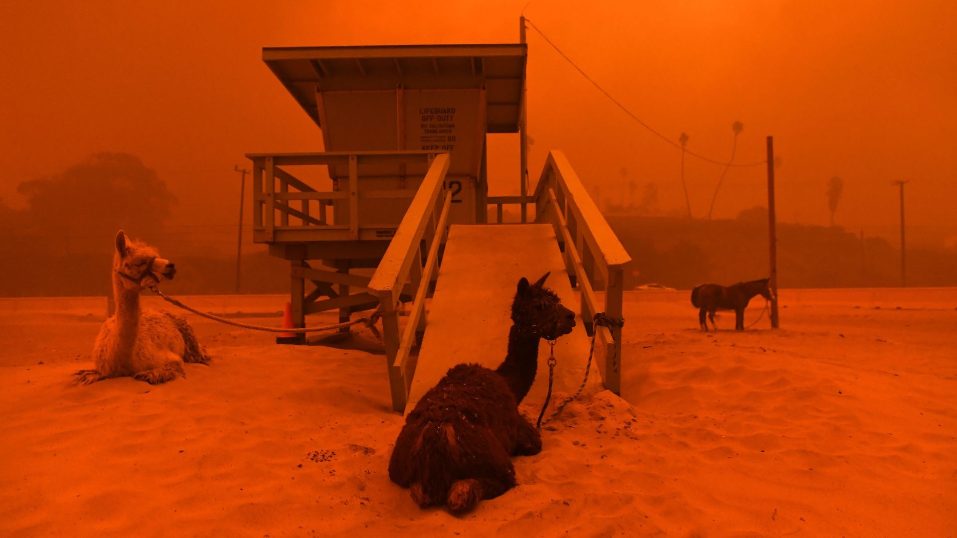 One of the most startling photographs from the Woolsey fire, llamas tied to a lifeguard stand in Malibu—an image we just can't forget. Photo: Wally Skalij/The Los Angeles Times via Getty Images