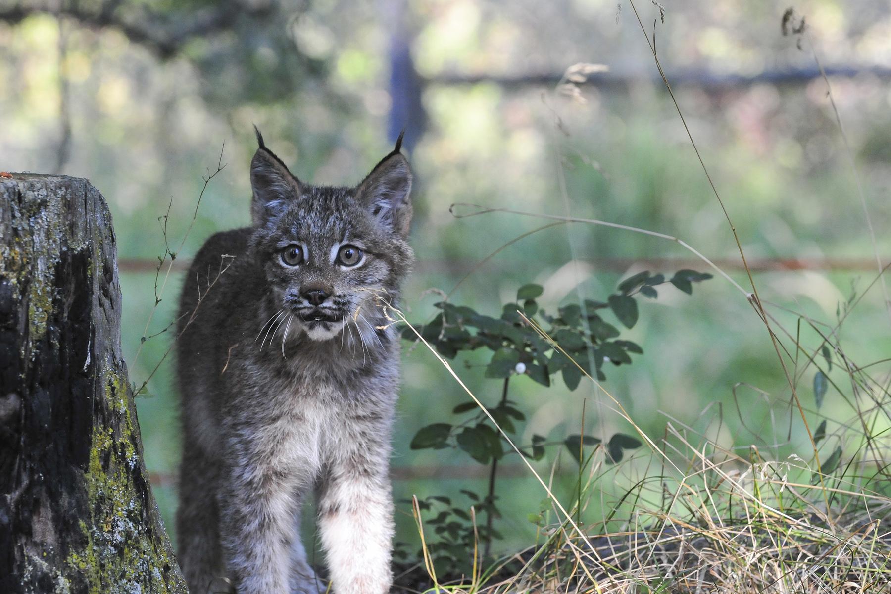 Next-gen Canadian Lynx kitten.