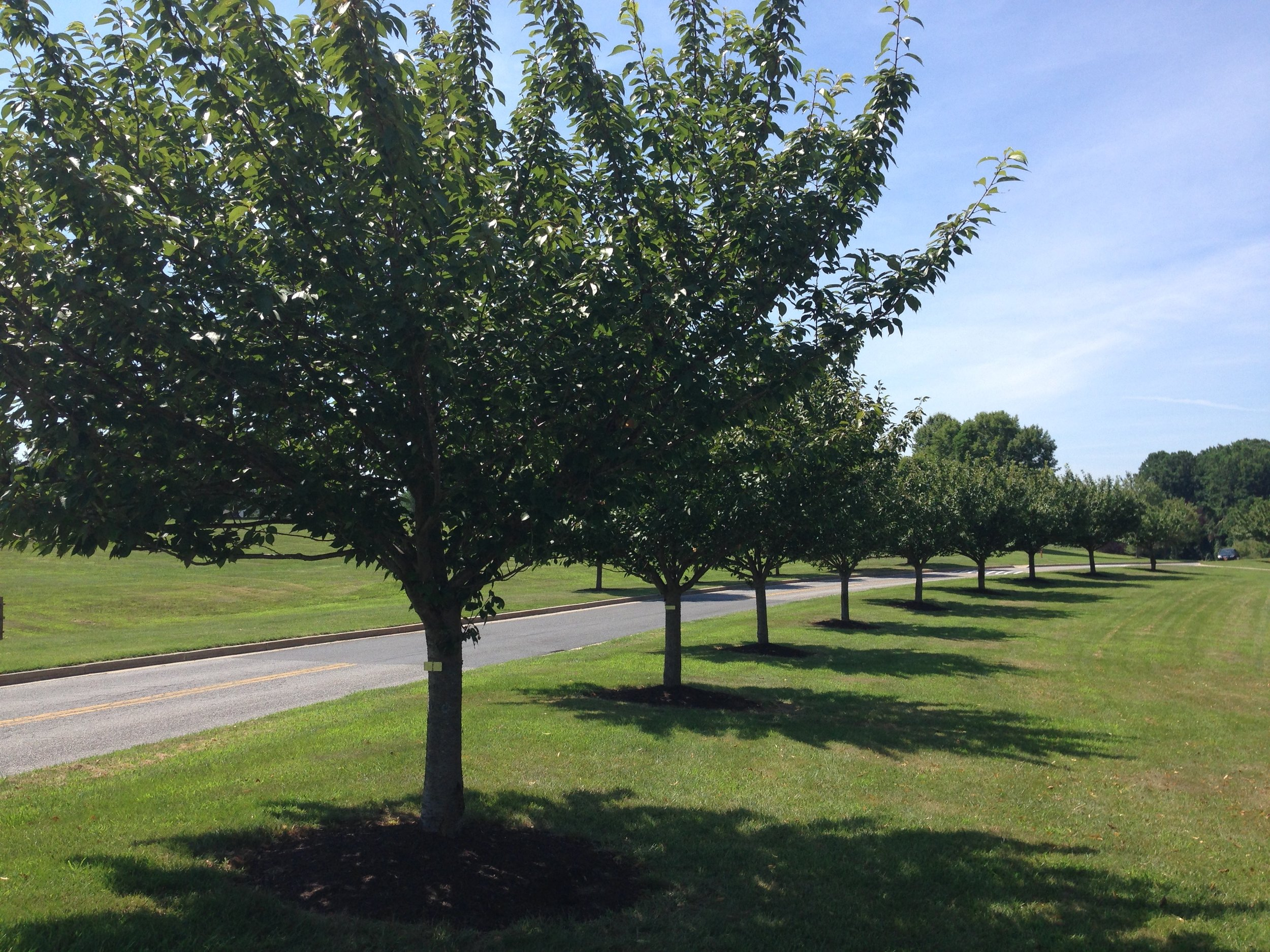 Some of the Kwanzan trees with tree huggers in Schooley Mill Park.