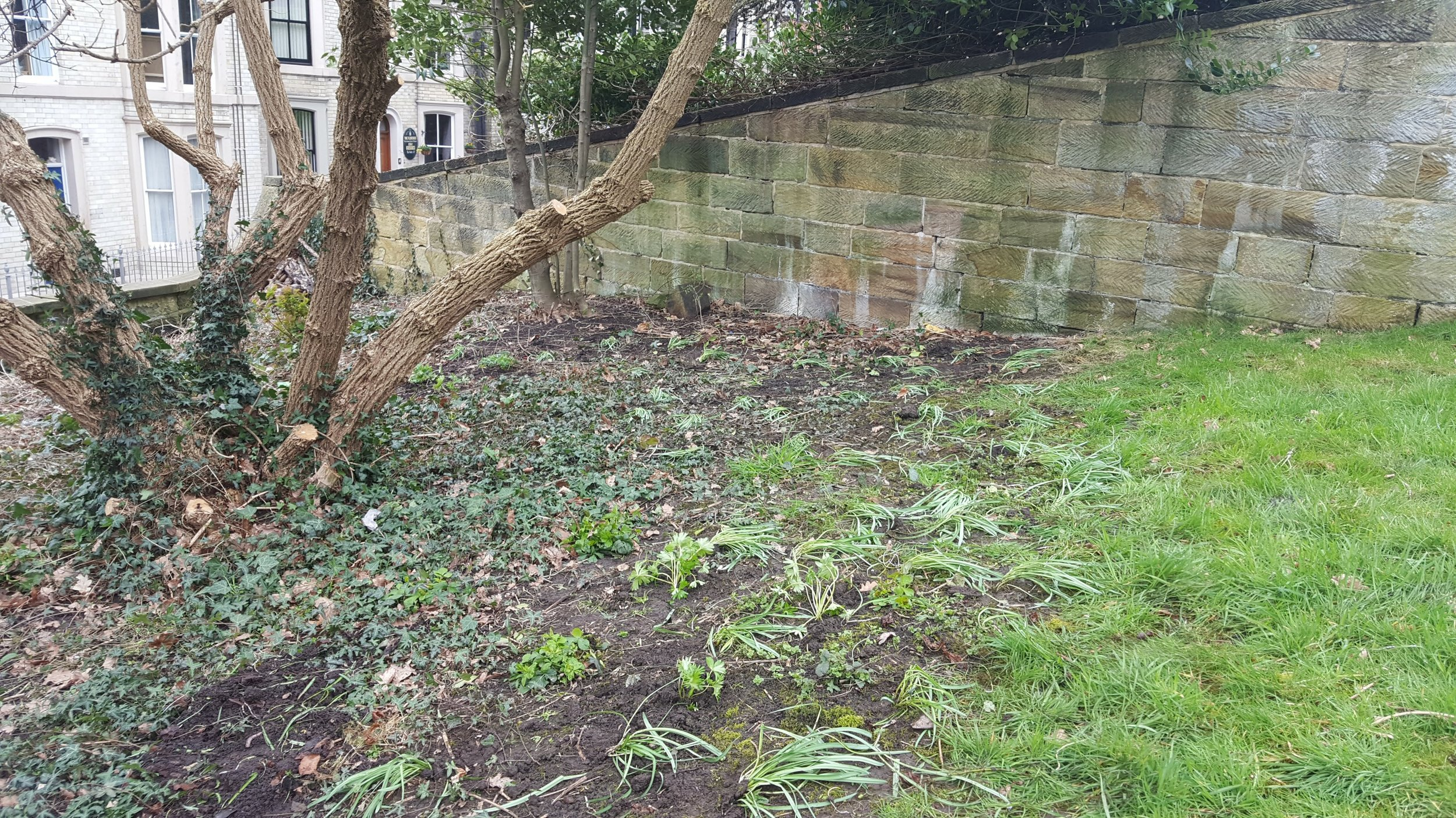 Donated snowdrops and aconites
