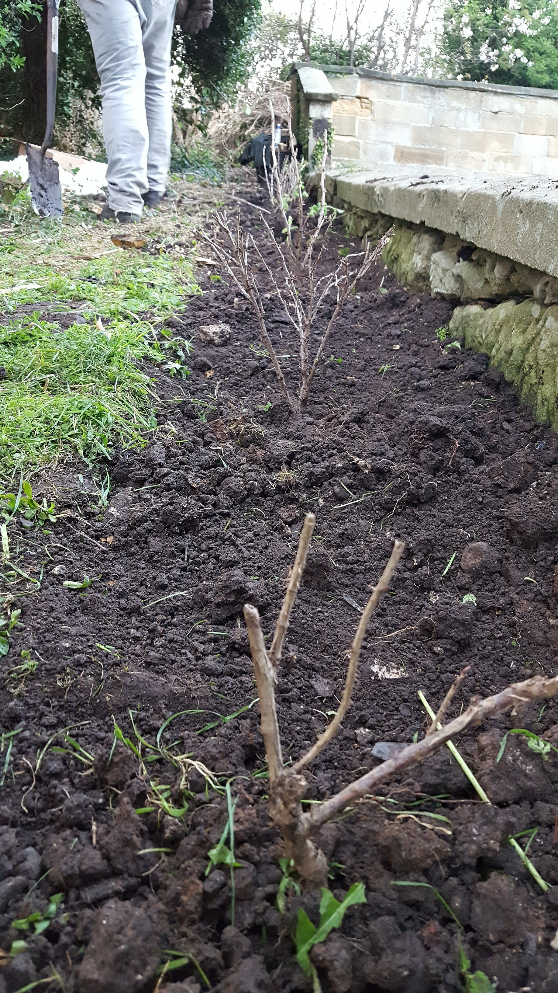 Planting a gooseberry hedge
