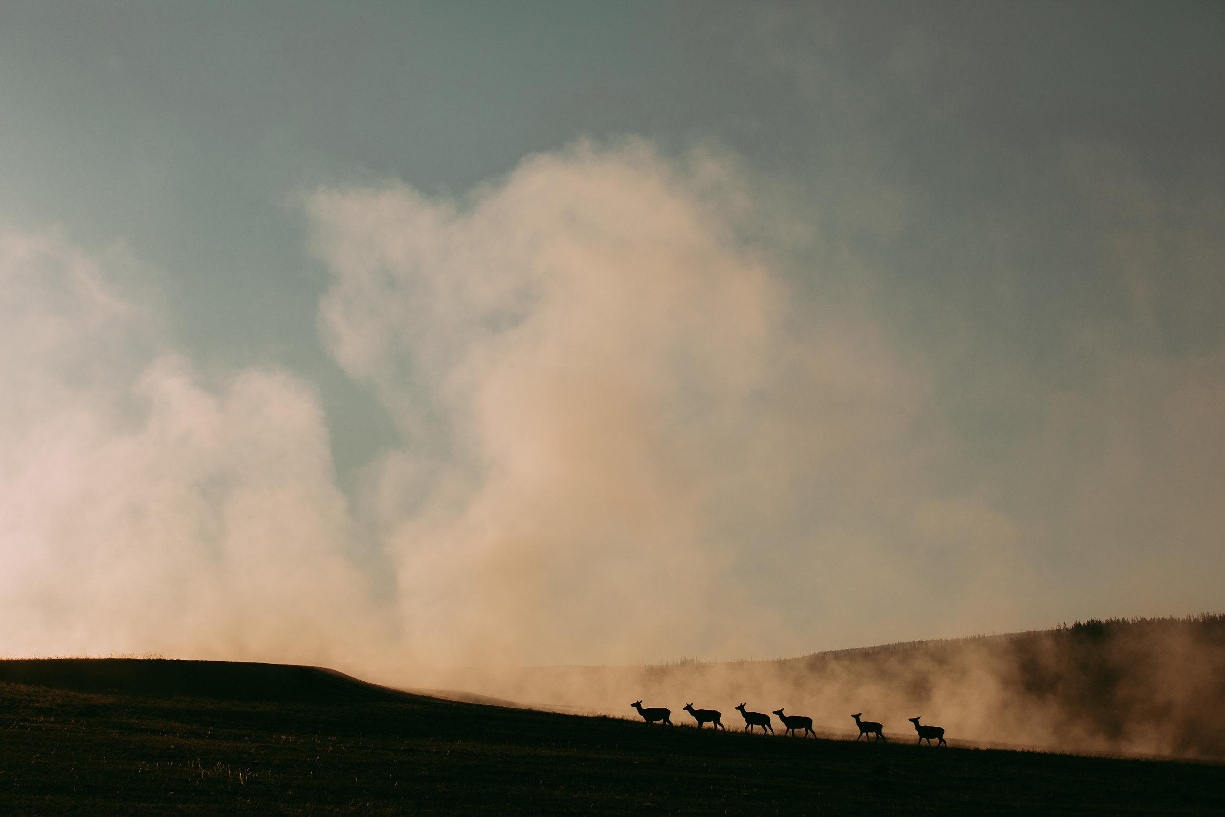 Caribou in Yellowstone