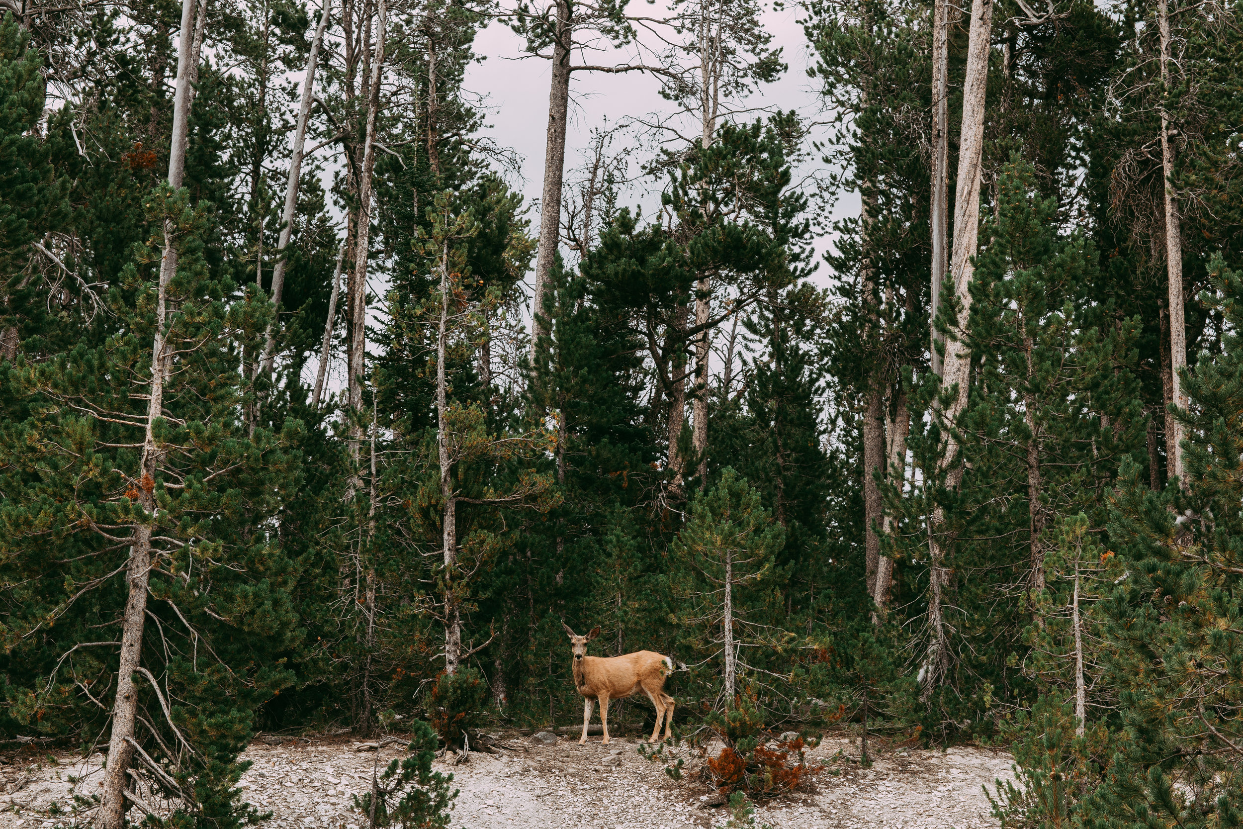 Deer Yellowstone