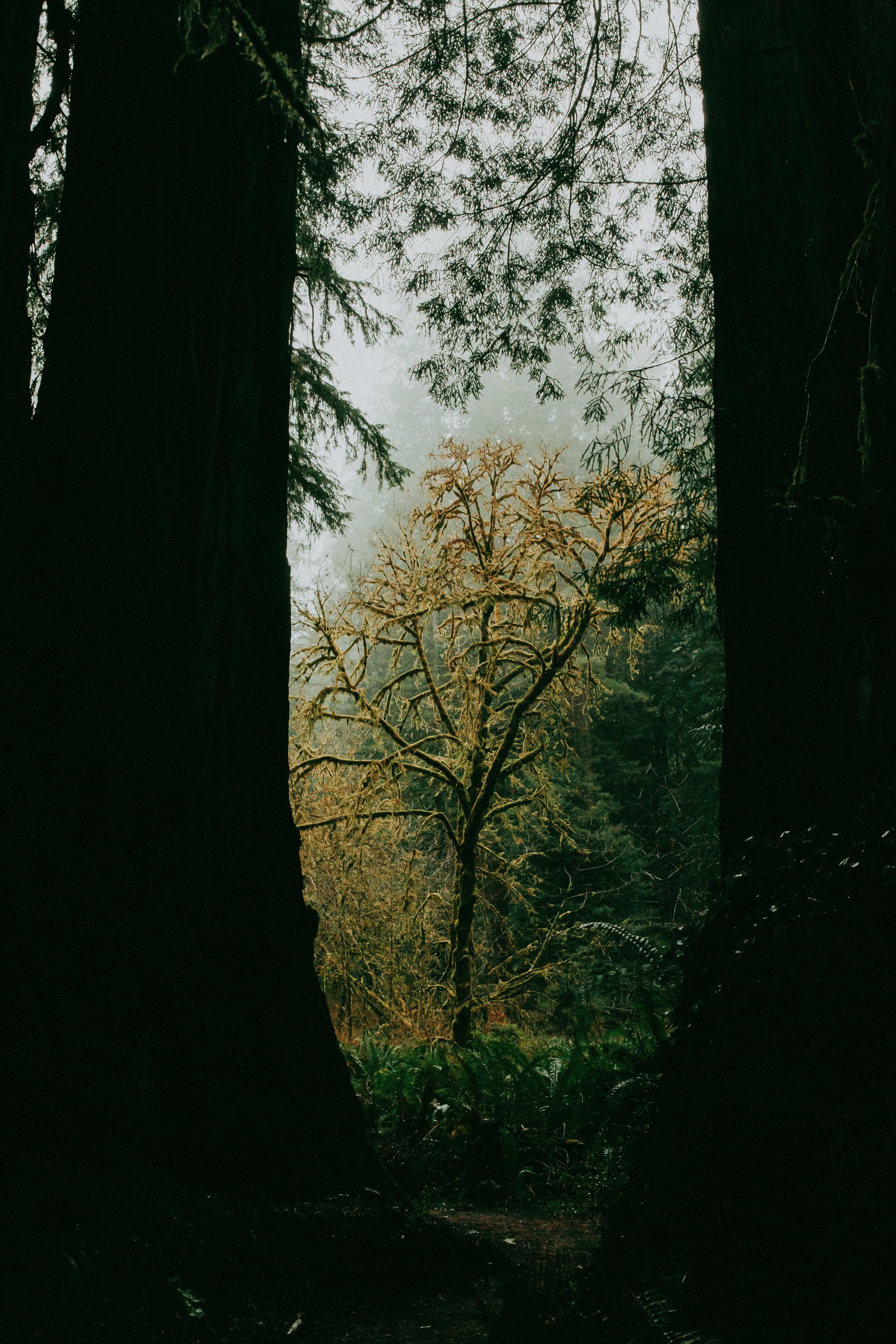 sequoias eureka