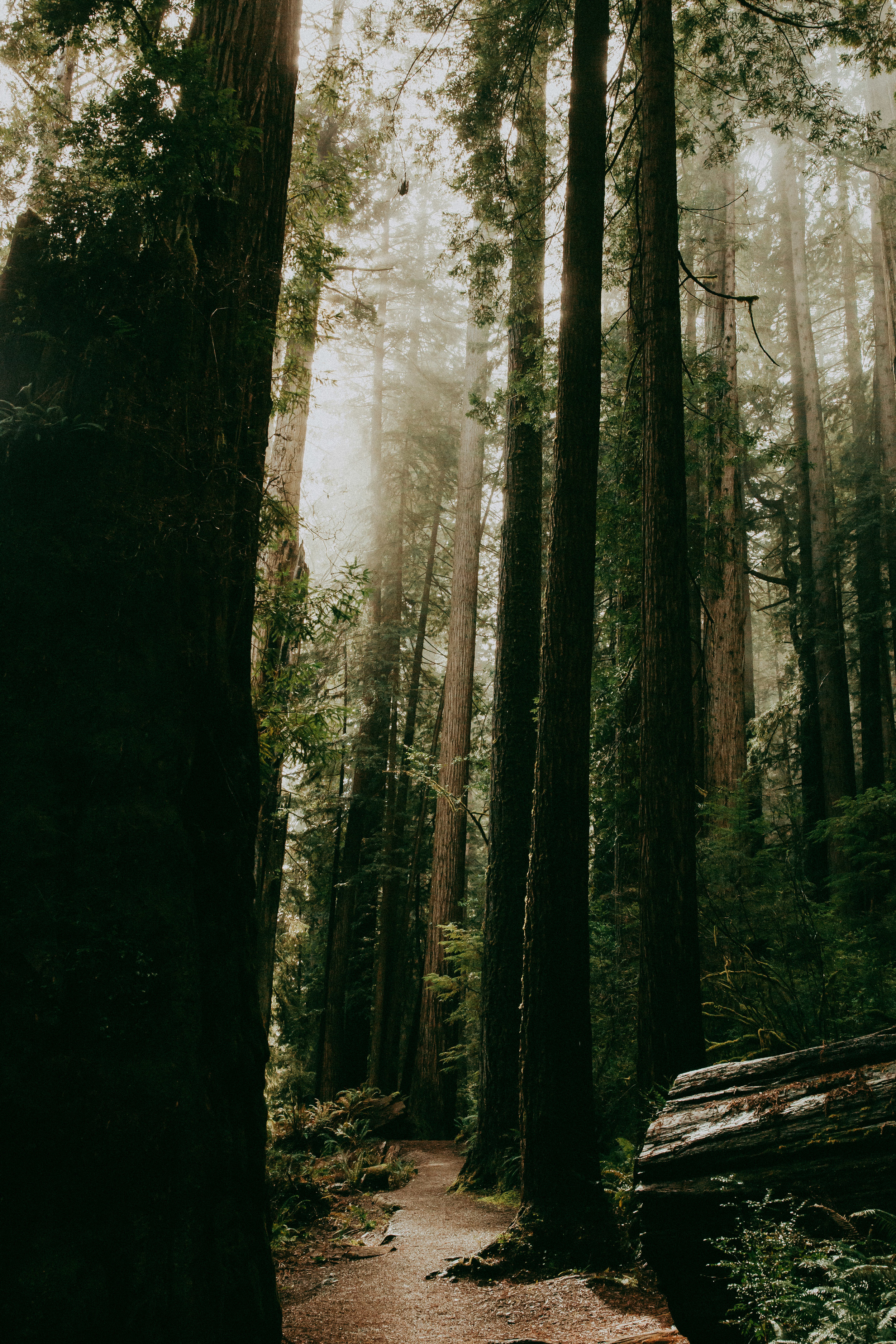 sunshine in the redwoods