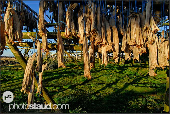 Fish drying in a field in Iceland.