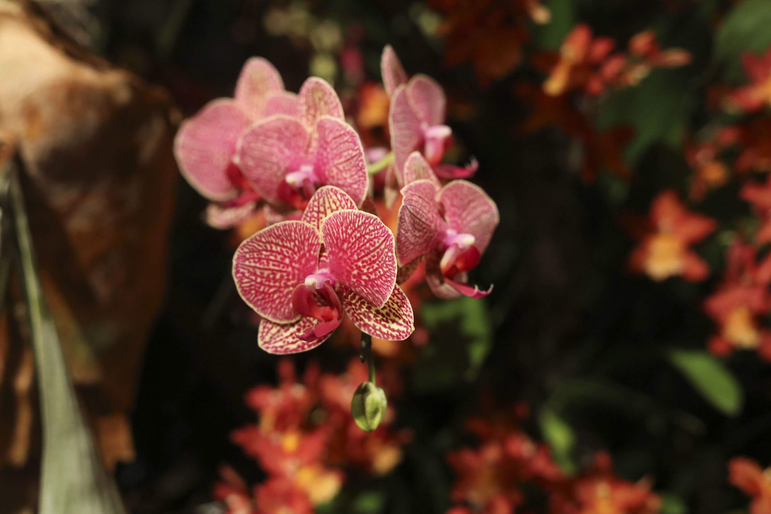 The Moth Orchid.
