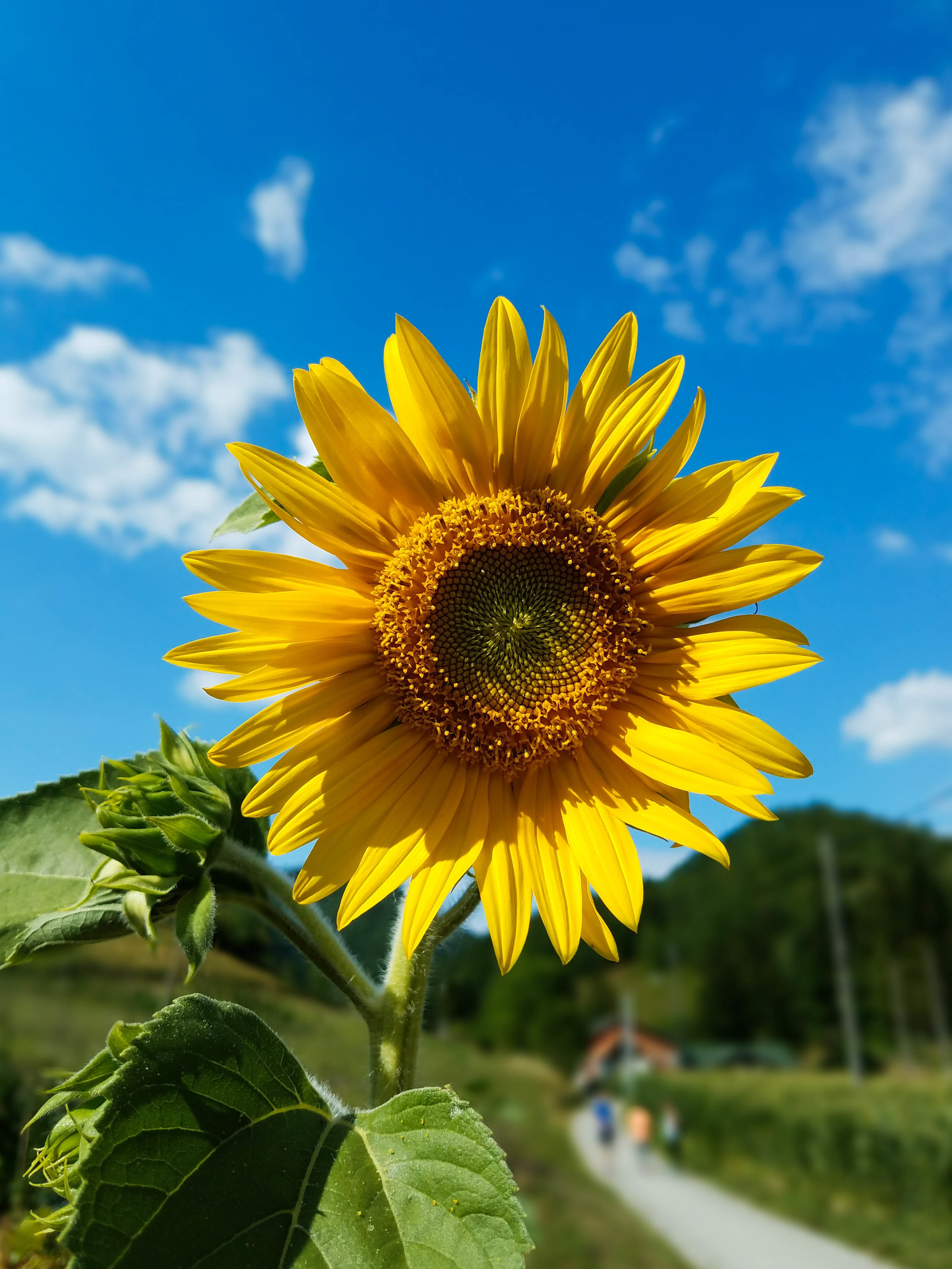 A sunflower in the fields