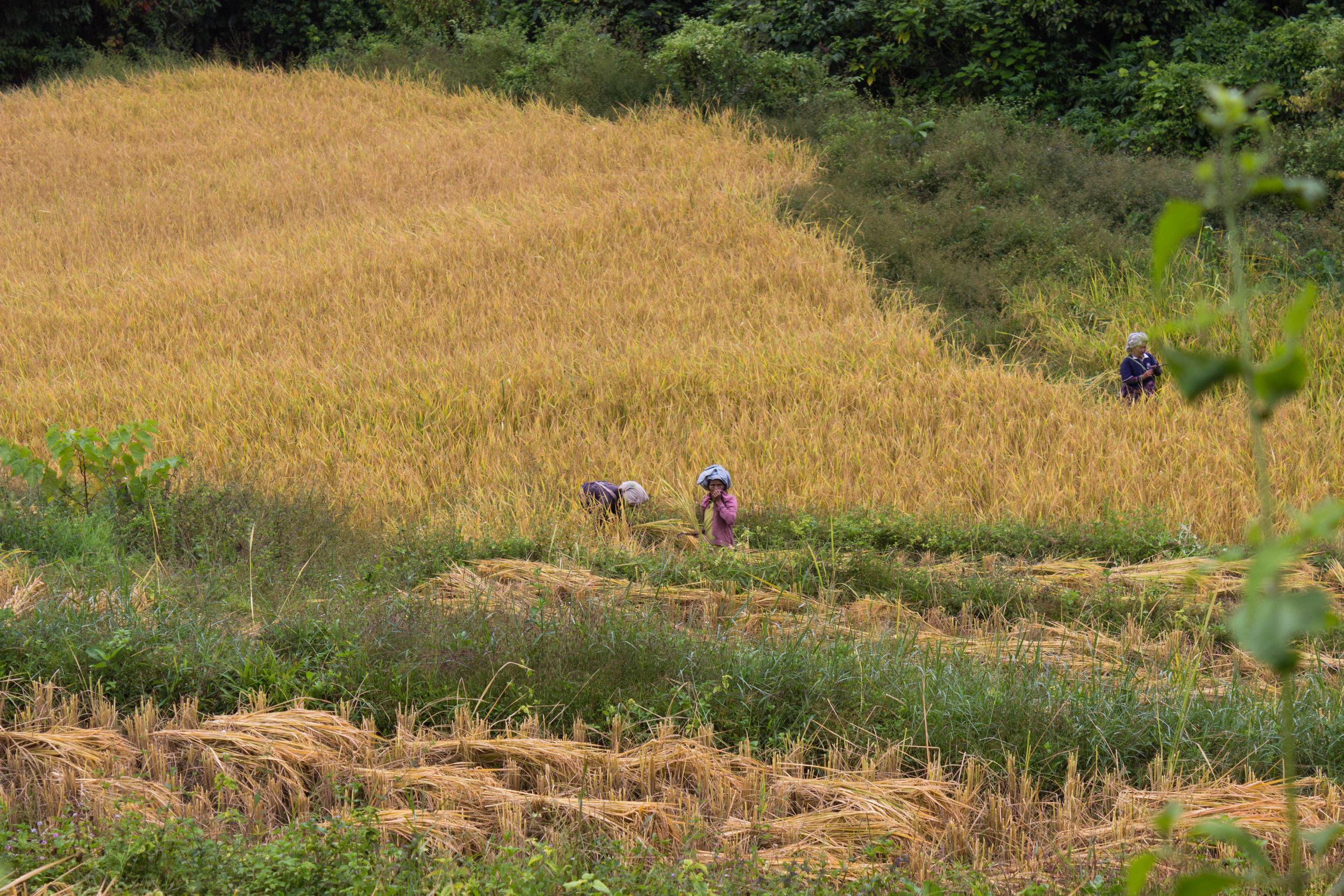 Local Karen villagers harvest rice