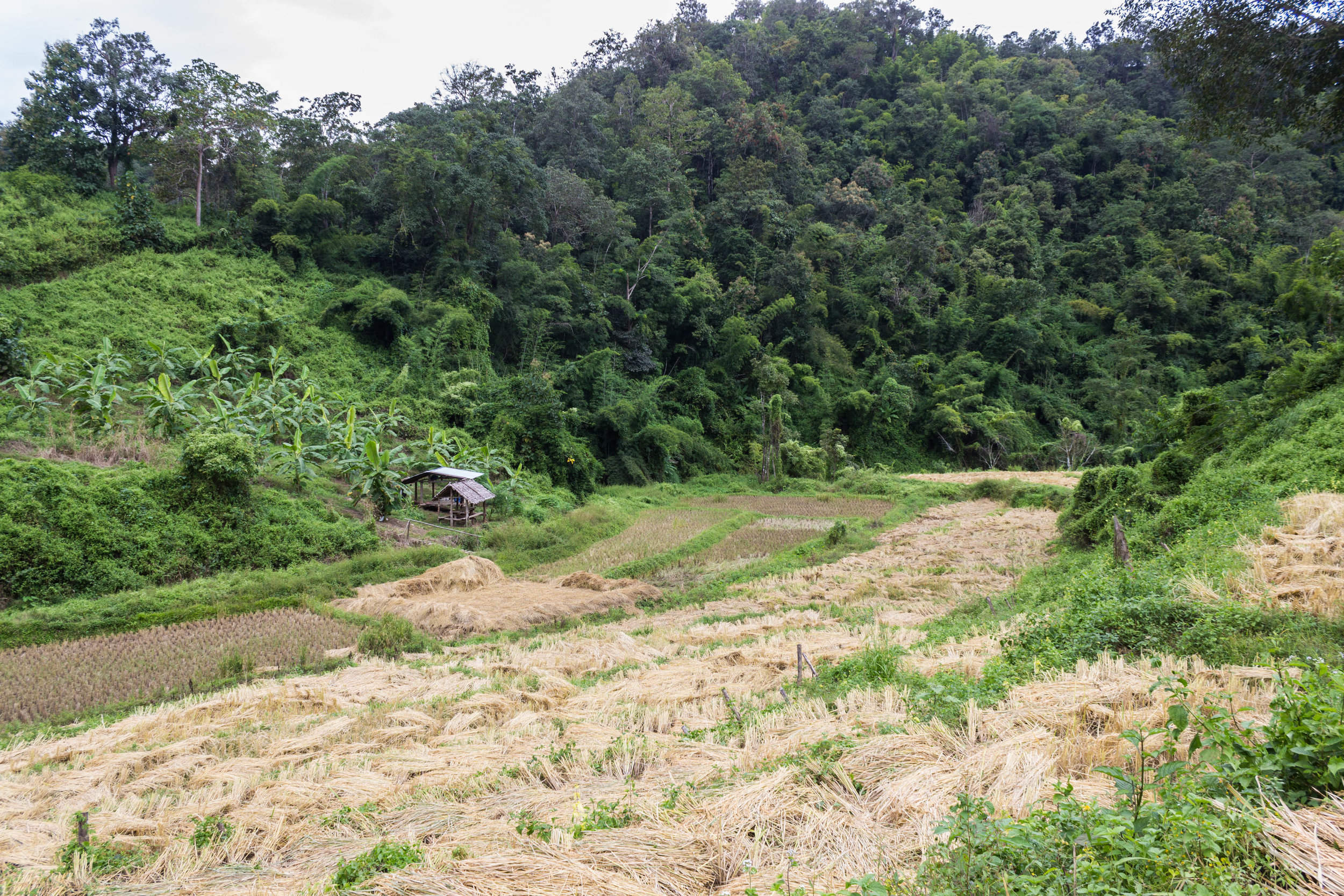 A harvested rice field we hiked through during our trek