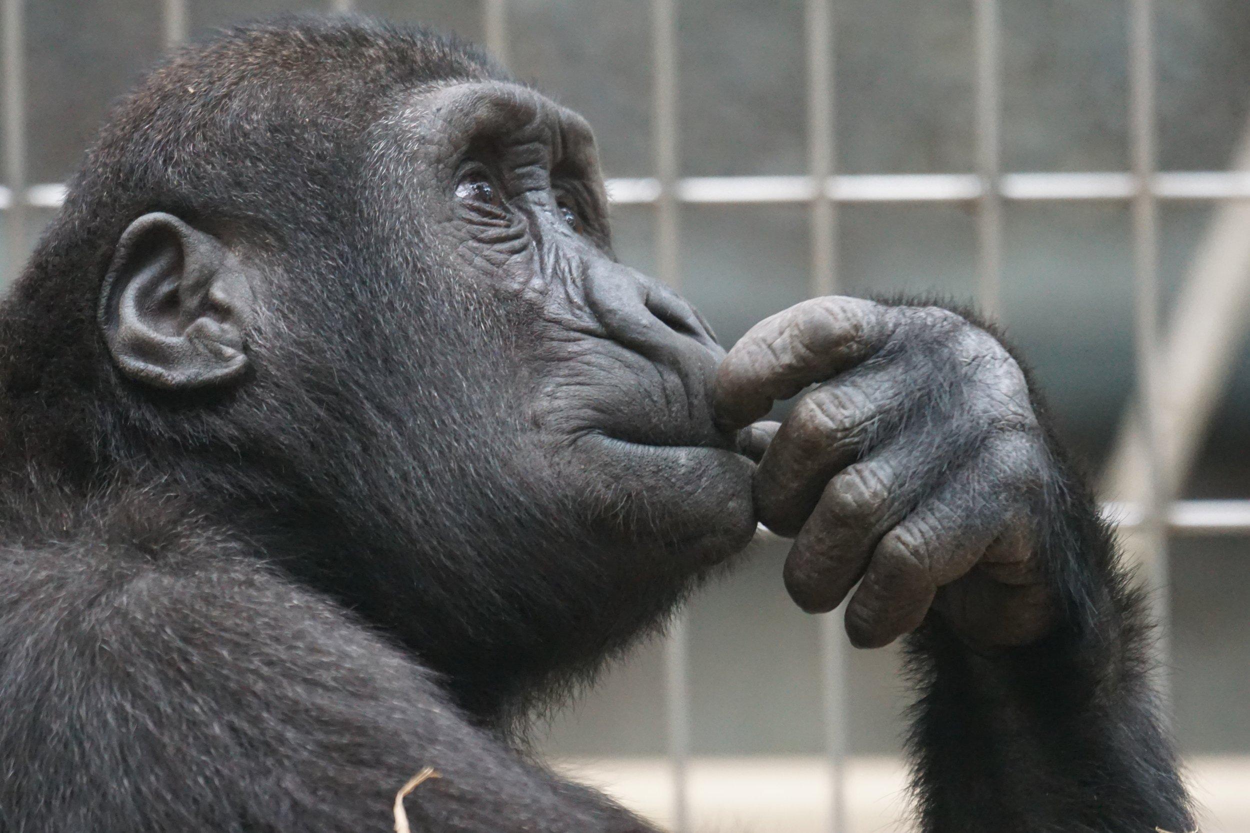 animal-ape-black-33535.jpg