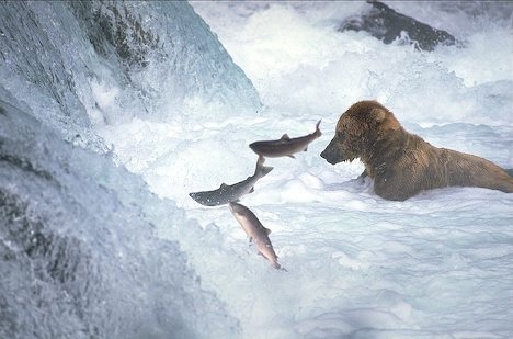 EnzoCombo-bear-w-salmon.jpg