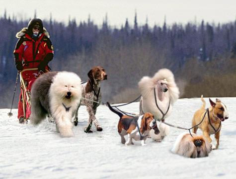 Westminster dog show finalists form elite Iditarod team.