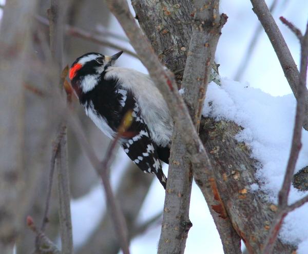 Male downy woodpecker by Brad Josephs