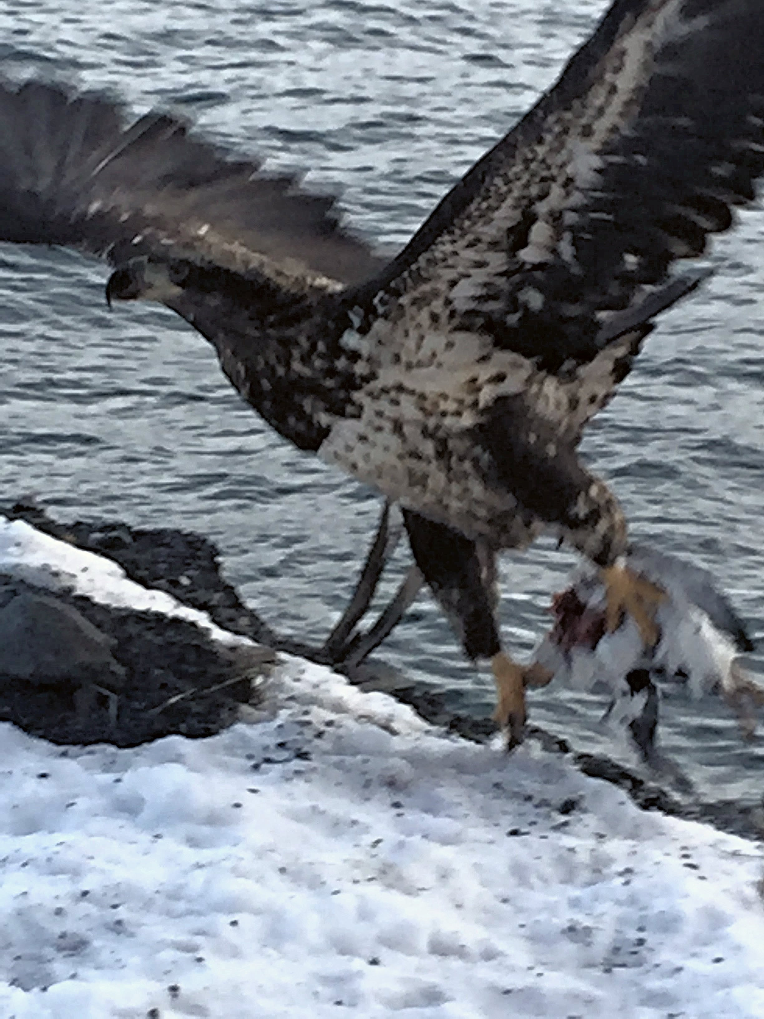 Juvenile Bald Eagle (and an unfortunate Common Murre)