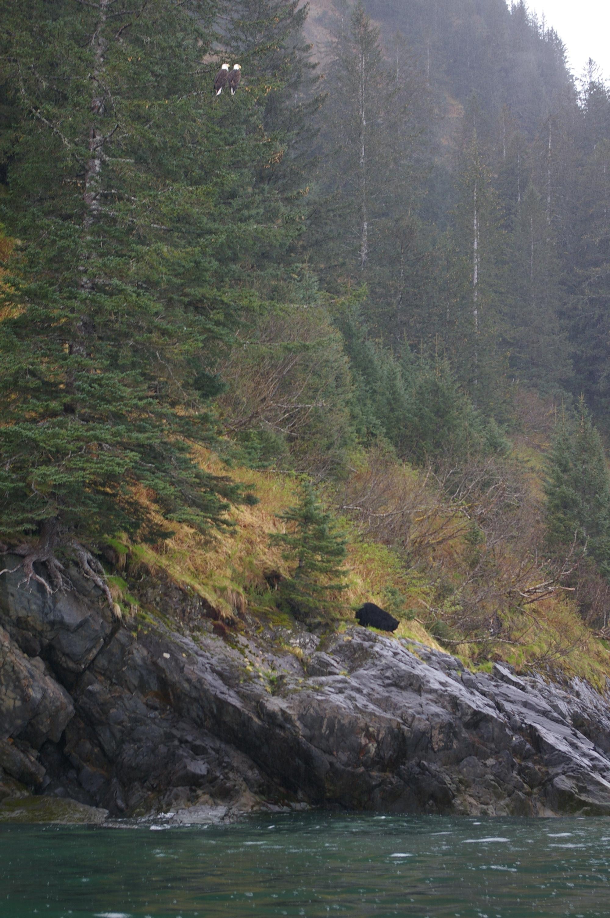 Double eagle, single black bear.
