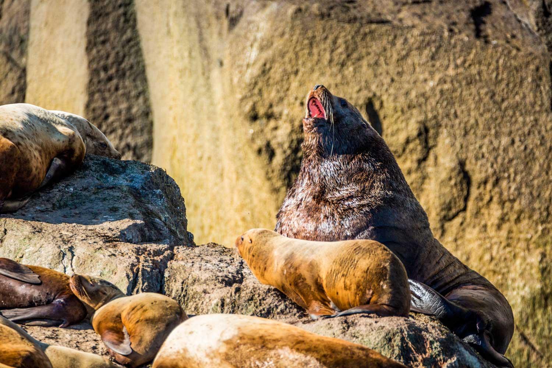 Sea Kayak Sea Lion