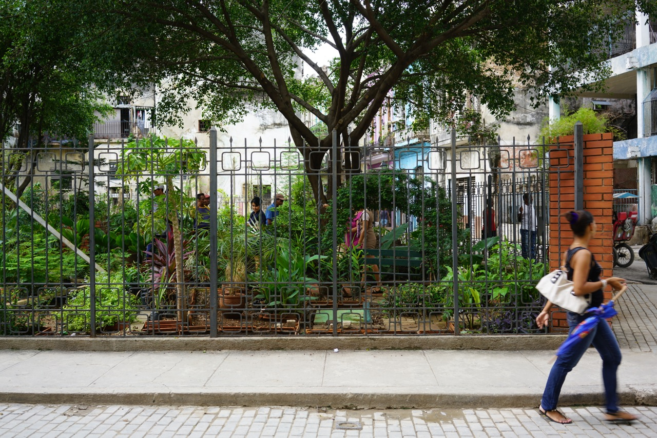 We planted seeds along the wall of this garden on corner of Habana y Tte.Rey. The seeds were planted so they would grow up the fence and could be picked from the outside the fence.