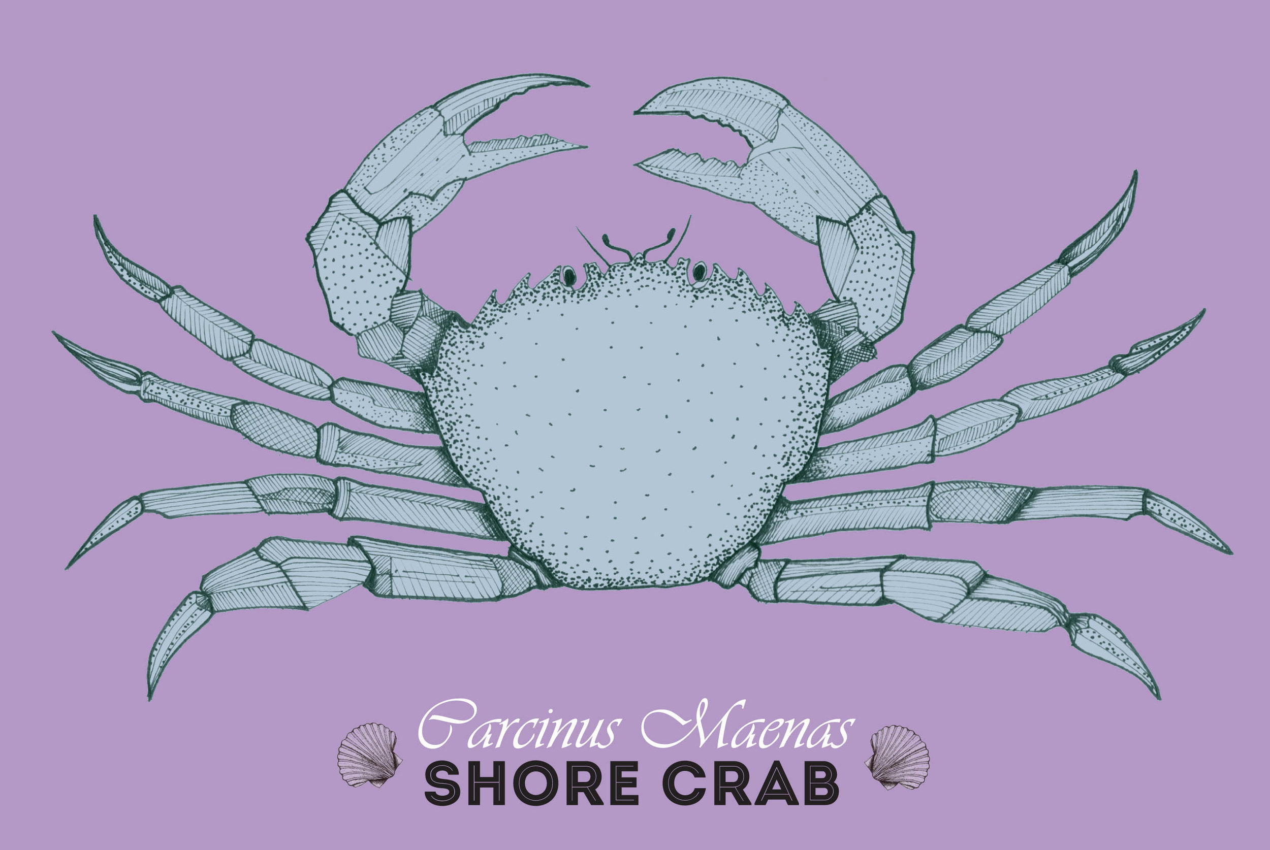 Purple crab.jpg