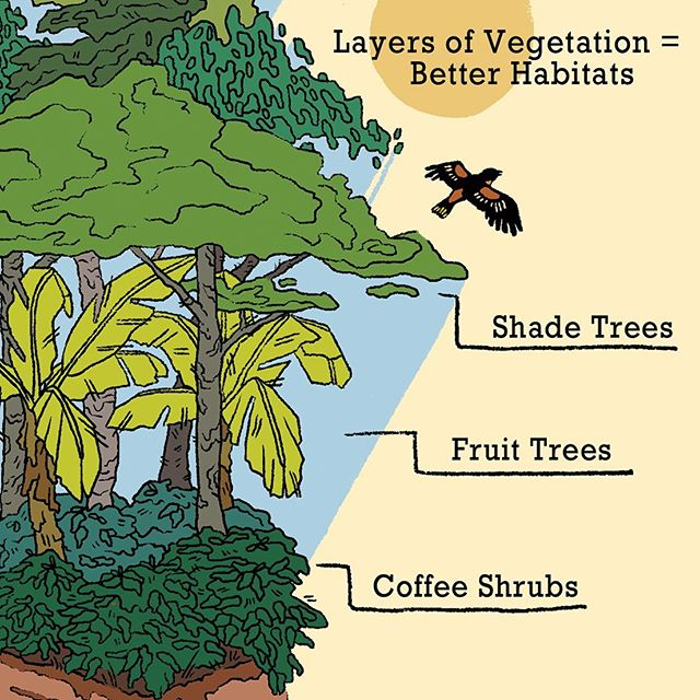"It's all about the layers. 🌳🌿🍃✨ . Bird-friendly shade grown coffee farms that mimic forest ecosystems provide habitat for wild plants and animals while helping to preserve nutrient rich soils. There's a lot of good you can do by being conscious of what's in your daily cup! ☕️ . This diagram is just one page of a ""How to Brew Coffee"" zine in the works! Thanks to the NYS Decentralized Community Art Grant these full color zines will be free take-aways during the larger art exhibition. 💜 . This project is made possible with funds from the Decentralization Program, a regrant program of the New York State Council on the Arts with the support of Governor Andrew Cuomo and the New York State Legislature and administered by The Arts Center of the Capital Region. . #brewtheroost #birdfriendlycoffee #shadegrowncoffee #educatewithart #natureillustration #upstatenyartist #coffeelover"