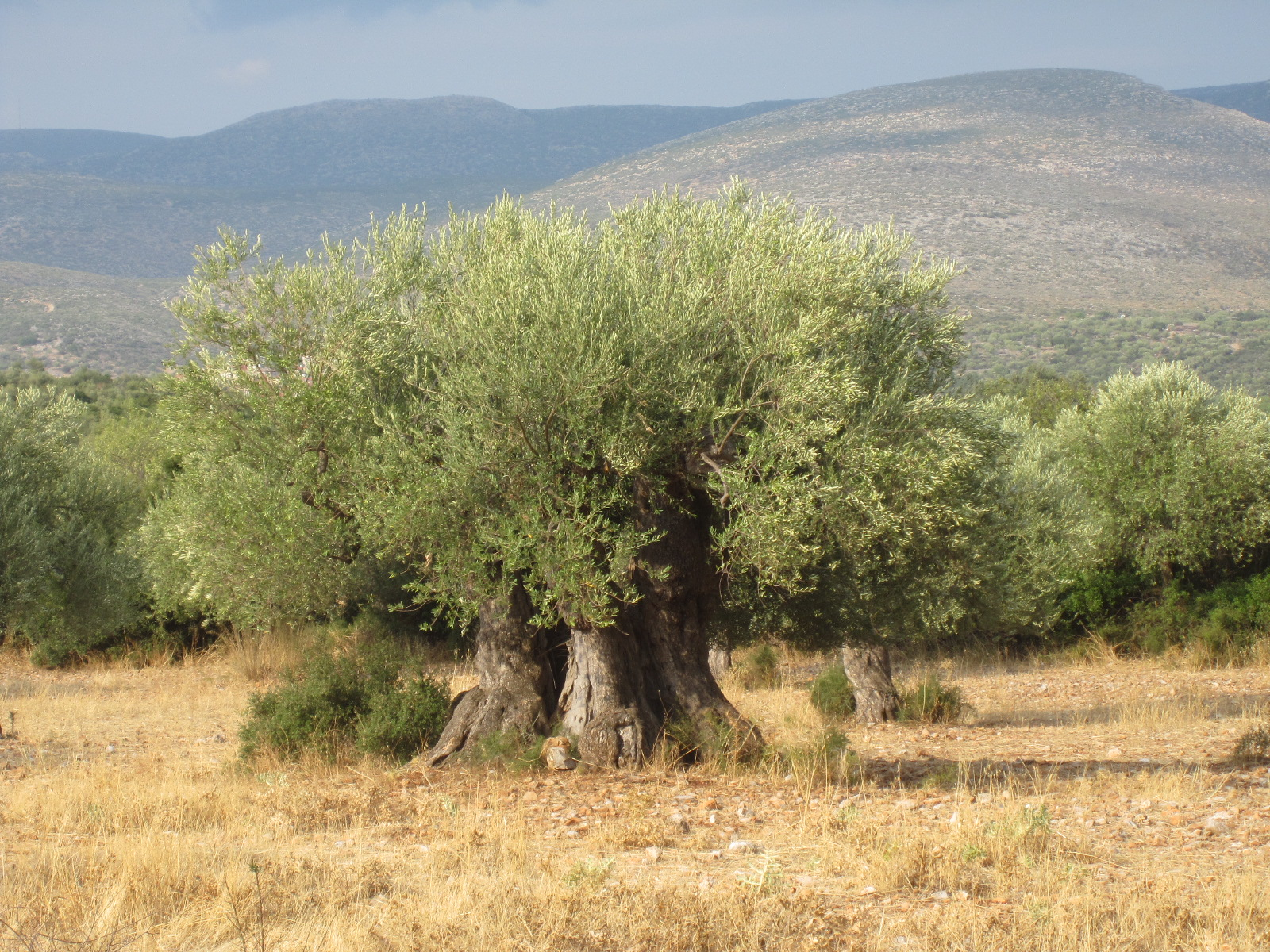 A Kouzini tree dating back over a thousand years!