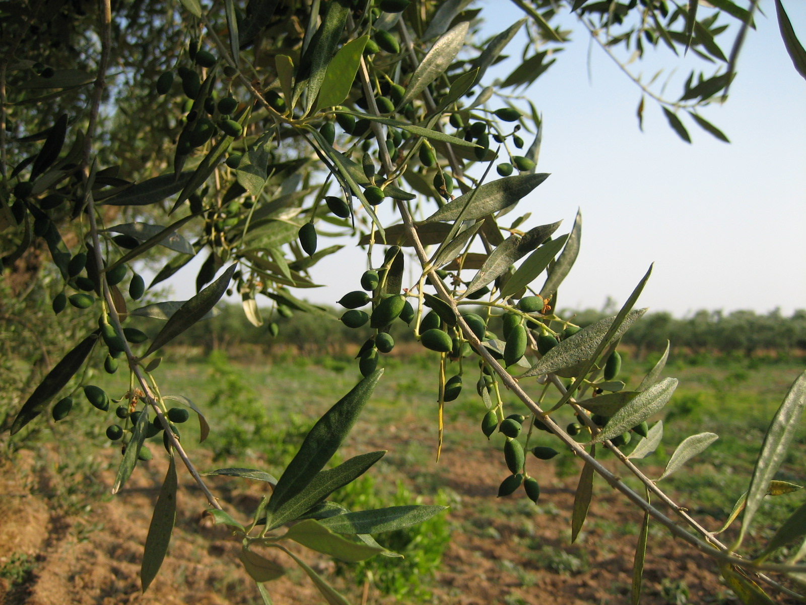 Kouzini olives getting ready for the harvest!