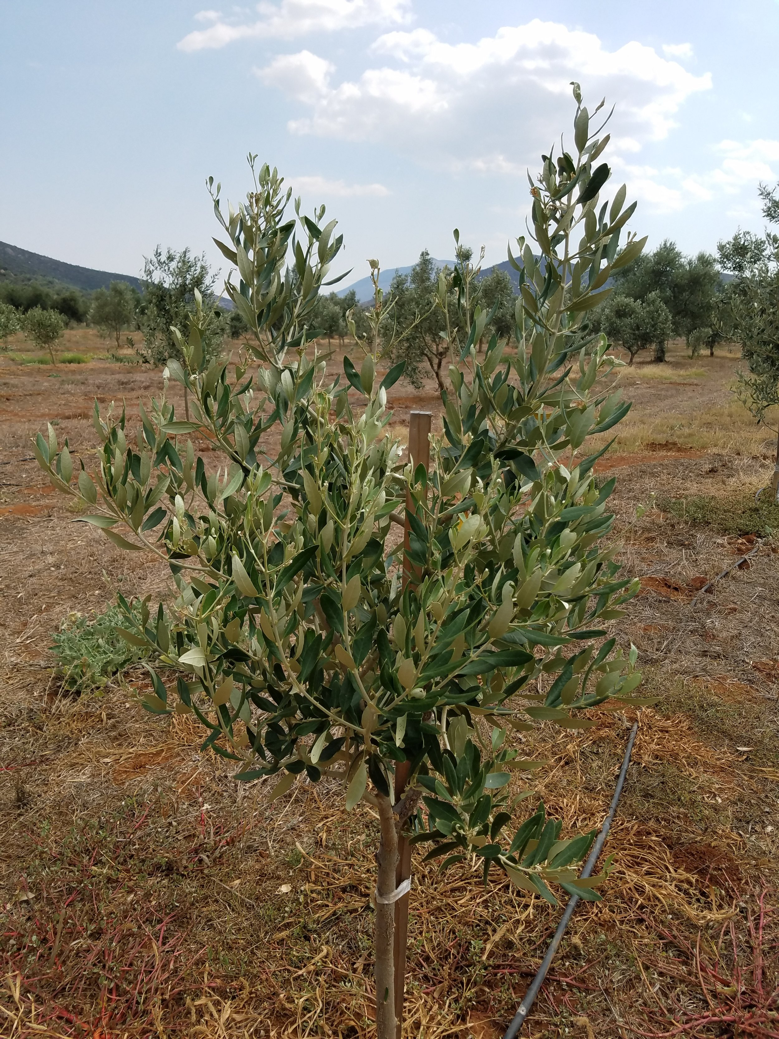 A baby Kouzini tree!