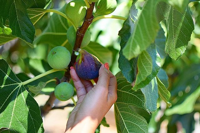 Good morning! Everyone has a favorite tree. My favorite tree in the front yard is the Kouzini fig tree!! 🌱 . . #kouzini #organic #greek #instapic #figtree #vinegar #paleo #fig #farm #fruit #vegetarian #primal #family #local #business #vegan #chef #bodybuilding #goodfat #balsamic #yummy #health #fit #fitness #vegansofig #glutenfree #veganfood #healthy #siko #jam . .  To your health, Antonios Kasandrinos  Kouzini www.kouzini.com