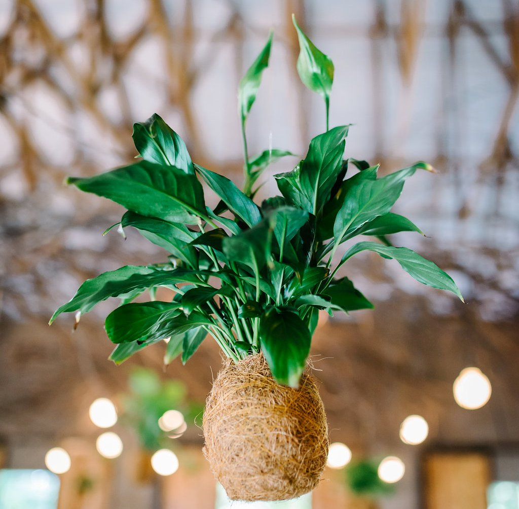 Kokedama hanging plant.jpg