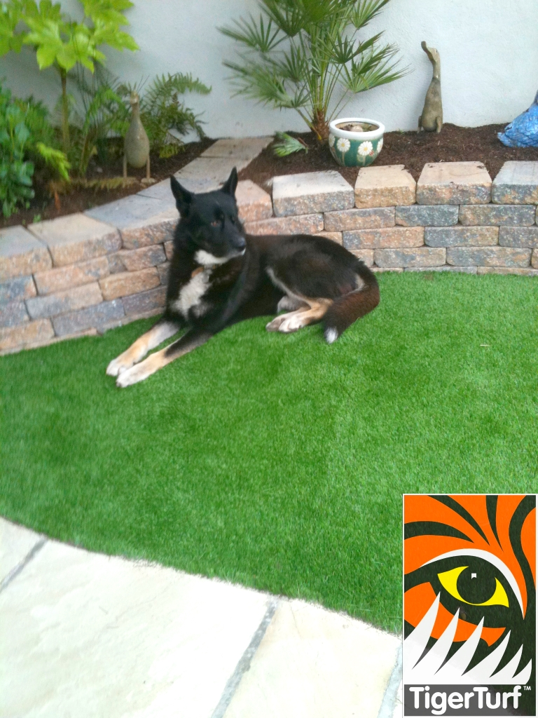 beautiful dog on new lawn