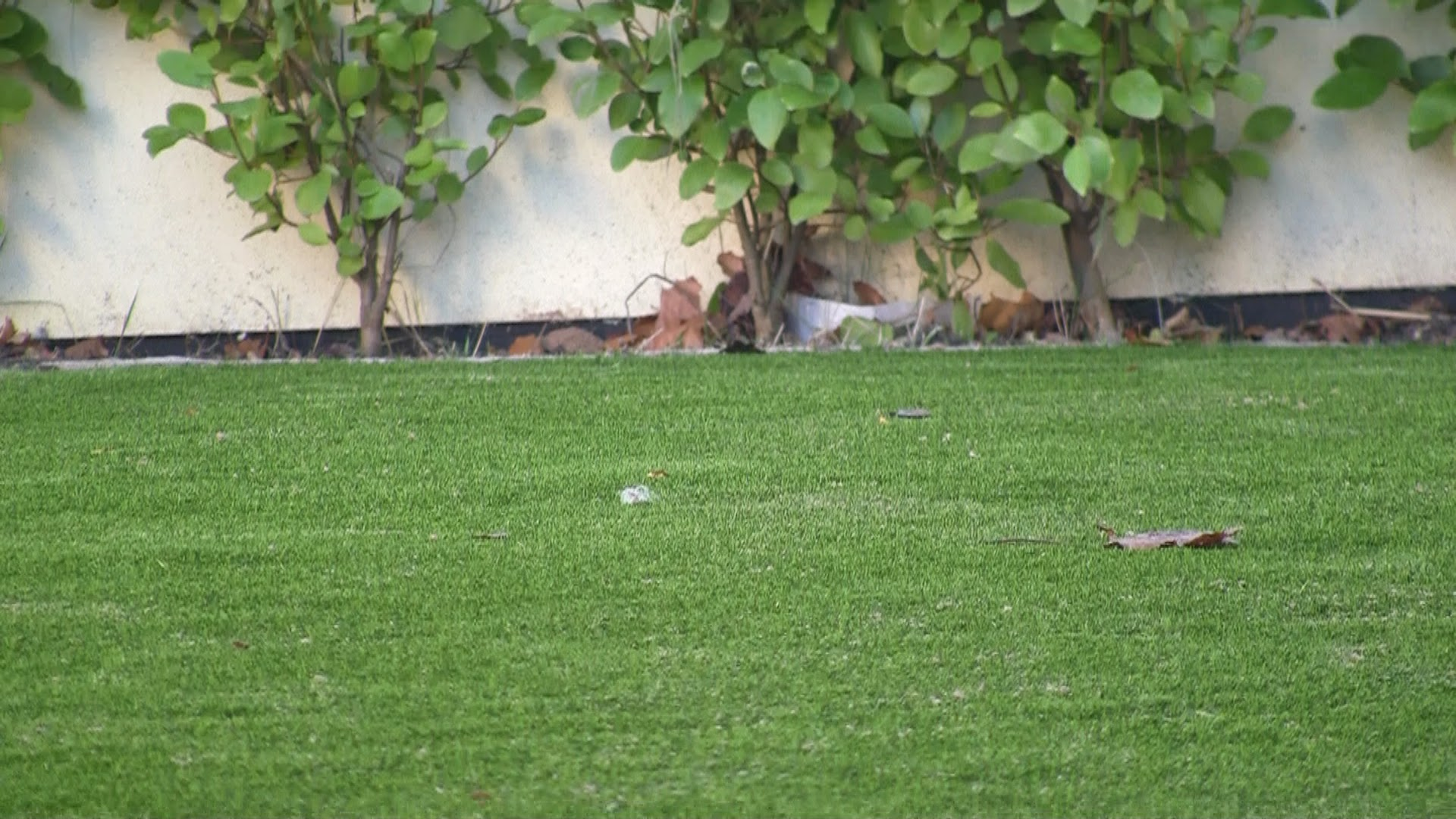 hedge and synthetic turf