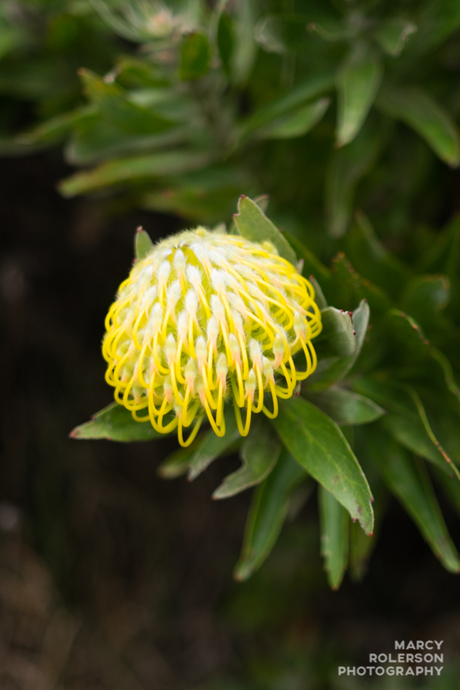 Malolo_Protea_Maui-56.jpg