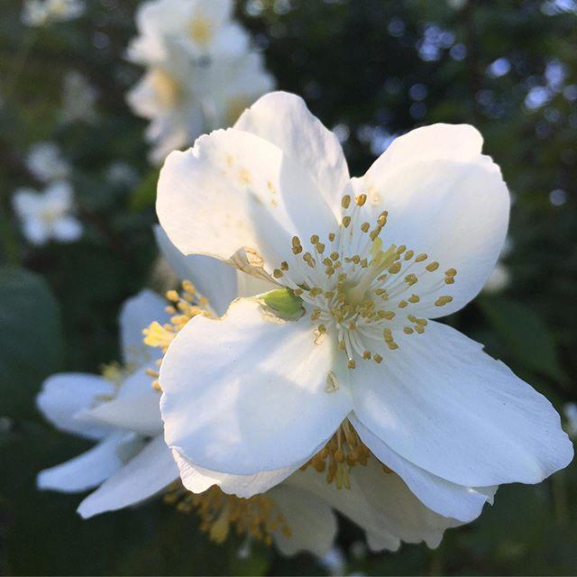 Summer Light ☀️ Floral Joy... . . . #nordic #summer #garden #magic #moments #flowers #splendor #daylight #magic #vsco ☀️#sommerglede !!