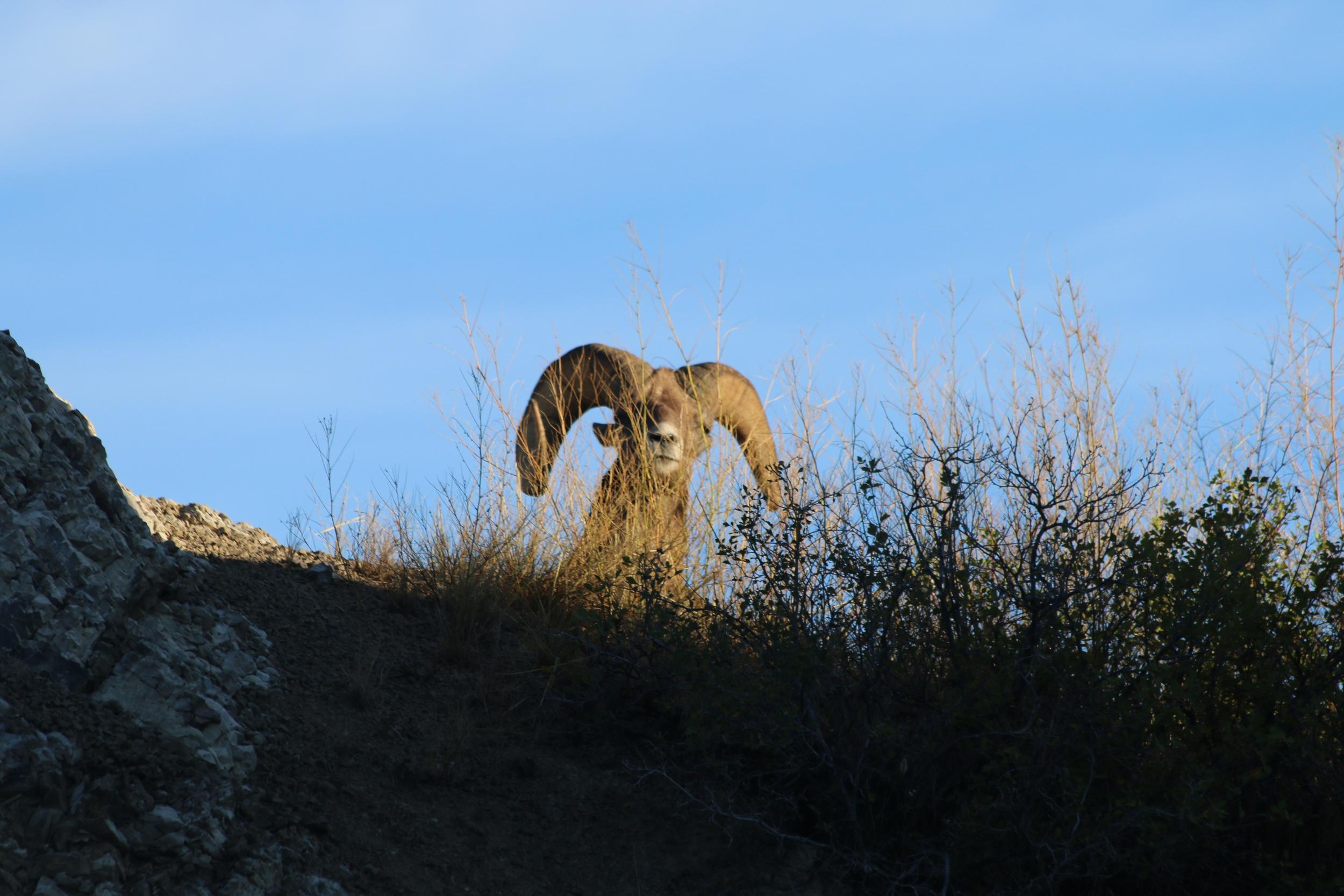 Big Horn Sheep, Badlands National Park, SD.