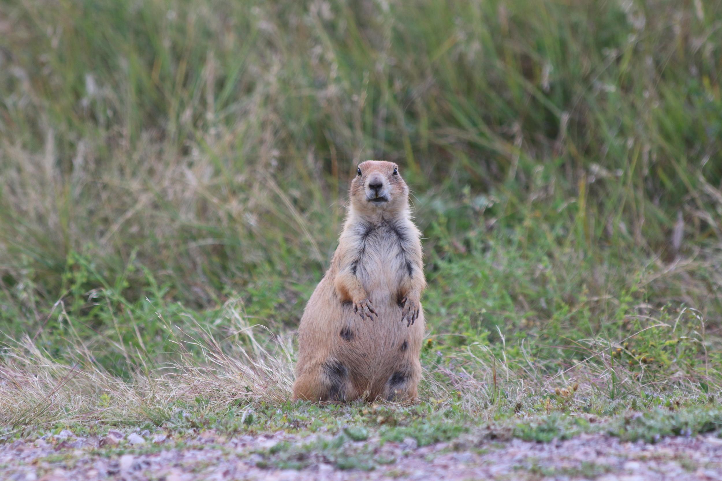 Prairie dog: Wind Cave NP, SD.