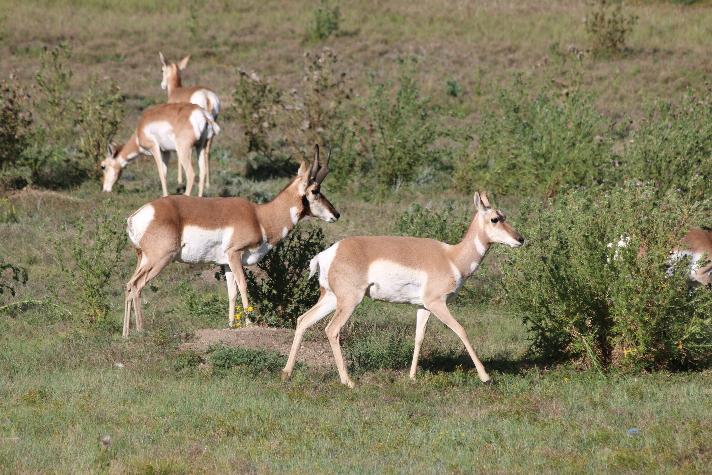 Pronghorn: Wind Cave NP, SD.